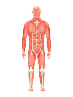 Menschliche anatomie des männlichen muskelsystems - vorderansicht - ganzkörper. medizinisches bildungsdiagramm für bildungsplakate. vektor-illustration einer mannfigur.
