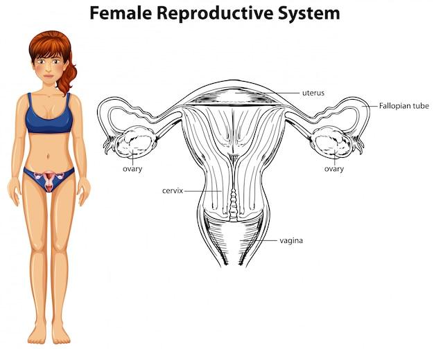 Menschliche anatomie des weiblichen fortpflanzungssystems