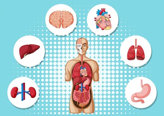 Menschliche anatomie mit verschiedenen organen