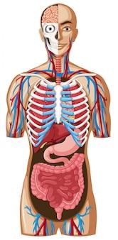 Menschliche anatomie mit verschiedenen systemen