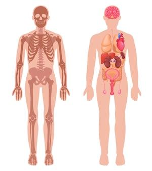 Menschliche anatomie-set