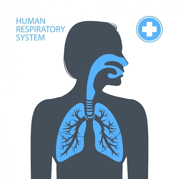 Menschliche atemwege