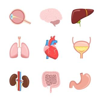 Menschliche innere organe festgelegt