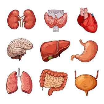 Menschliche innere organe gesetzt