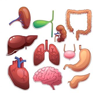 Menschliche innere organe