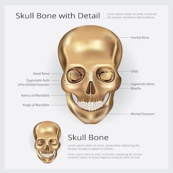 Menschliche knochen-schädel-anatomieabbildung