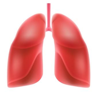Menschliche lunge - im realistischen stil, lokalisiert auf weißem hintergrund.