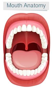Menschliche mund-anatomie auf weißem hintergrund