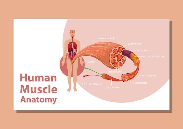 Menschliche muskelanatomie mit körperanatomie