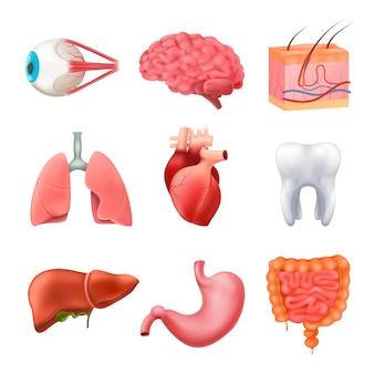 Menschliche organe anatomie realistische set
