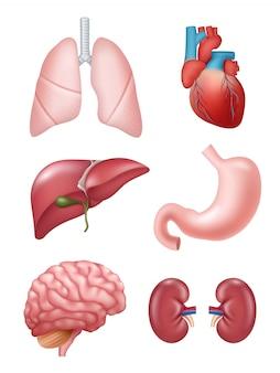 Menschliche organe. anatomische medizinische illustrationen magen-herz-nieren-gehirn-illustrationen