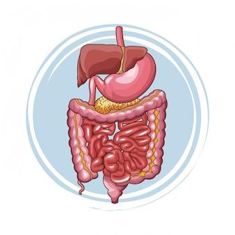 Menschliche organe des verdauungssystems