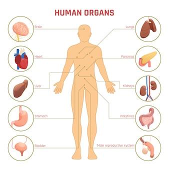 Menschliche organe infografiken