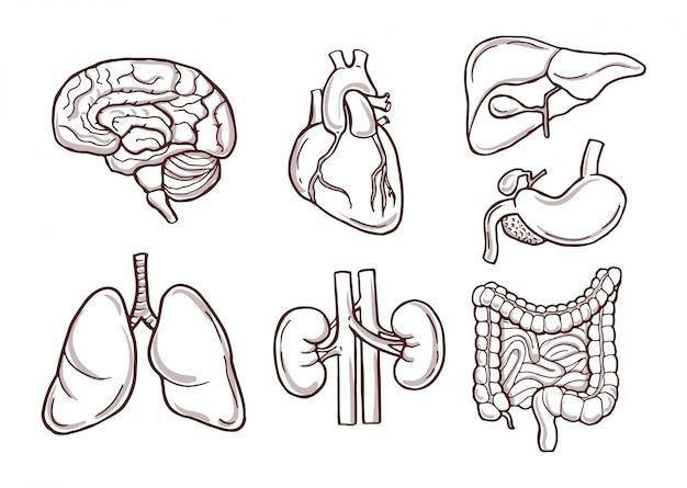 Menschliche organe. medizinische bilder