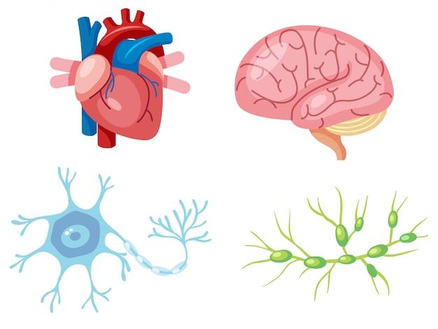 Menschliche organe und neuron-zelle