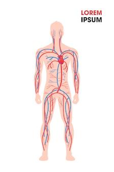 Menschliches arterielles venöses kreislaufsystem blutgefäße medizinisches plakat voller länge flacher vertikaler kopierraum