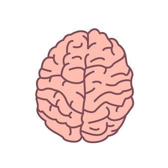 Menschliches gehirn isoliert auf weiss. organ des nervensystems.