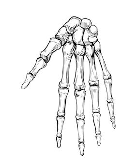 Menschliches handskelett. hand gezeichnete illustration lokalisiert auf weiß