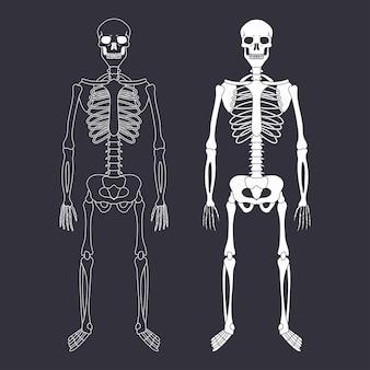 Menschliches skelett mit knochen und schädelvektorillustration lokalisiert auf hintergrund.