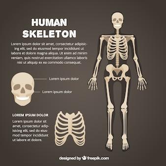 Menschliches skelett vorlage