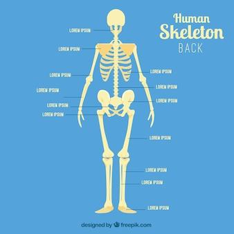 Menschliches skelett zurück