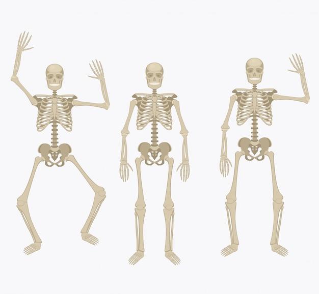 Menschliches skelett.