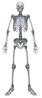 Menschliches skelettsystem