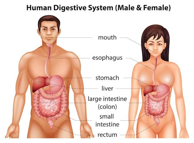 Menschliches verdauungssystem