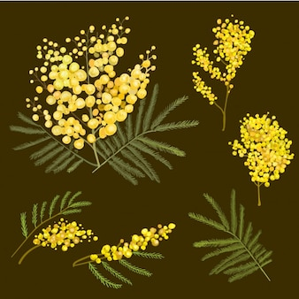Mimosa-botanische illustration