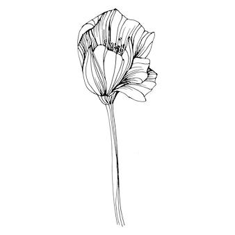 Mohnblumen blühen. botanische blumenblume. isoliertes abbildungselement. handzeichnung wildblumen