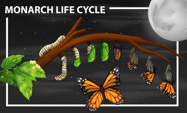 Monarch-lebenszyklusdiagramm