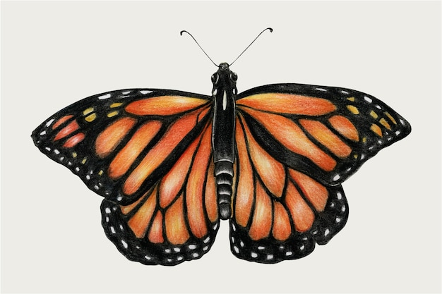 Monarchfalter vintage-vektor von hand gezeichnet