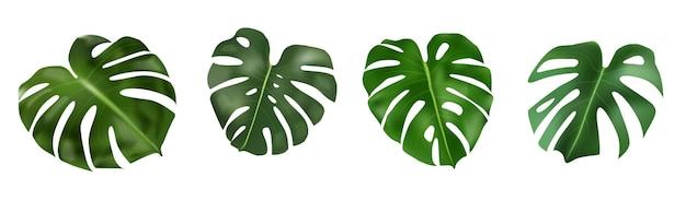 Monstera deliciosa pflanzenblatt aus tropischen wäldern isoliert auf weißem hintergrund für werbebanner