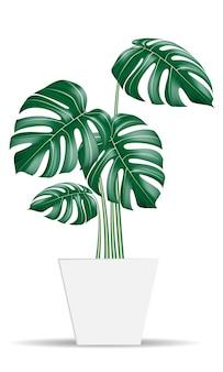 Monstera tropische pflanzen realistischer vektor in weißem topf auf isoliertem hintergrund