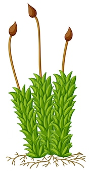 Moospflanze mit wurzeln
