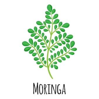 Moringa-superfood-pflanze für vorlagenbauernmarktdesign, -etikett und -verpackung. bio-lebensmittel mit natürlichem energieprotein.
