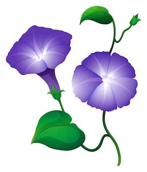 Morning glory blume in lila farbe