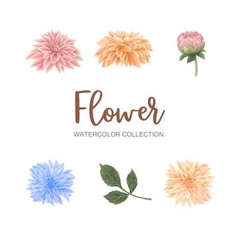 Multi farbchrysantheme des blütenblumen-aquarells auf weiß für dekorativen gebrauch.