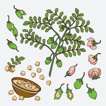 Nährende kichererbsenbohnen und pflanze