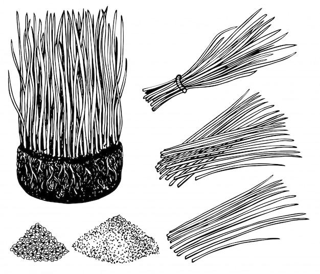 Nahrhafte einheimische weizengras- oder gerstengraspflanzen. sprossen. weizenbündel mit wurzeln. gerstengras und pulver. landwirtschaftlicher bereich. wachsende junge sprossenpflanzentriebe. bild.