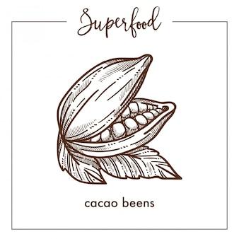 Natürliche wohlriechende kakaobohnen einfarbige superfood sepiaskizze