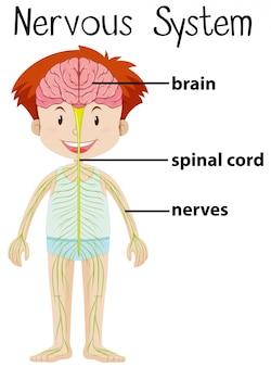 Nervensystem im menschlichen körper