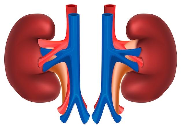 Nieren eines gesunden menschen