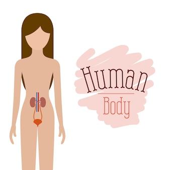 Nierensystem menschlicher körper