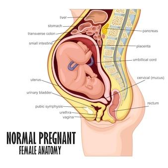 Normal schwangere weibliche anatomie