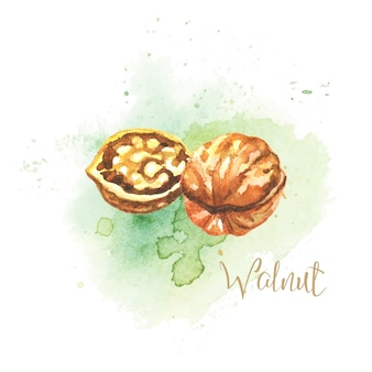 Nussbaum. aquarell abbildung. vektor-illustration