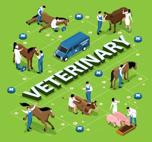 Nutztiere vieh veterinär isometrisches infografik-flussdiagramm mit tierärzten, die die behandlung von kranken pferden, kühen, schweinen, untersuchen