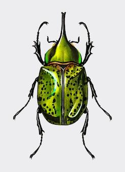 Östlicher hechelkäfer (scarabaeus hyllus)