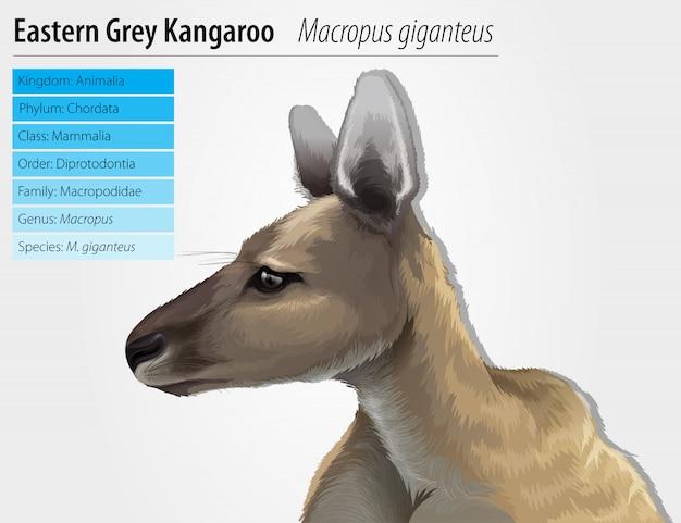 Östliches graues känguru