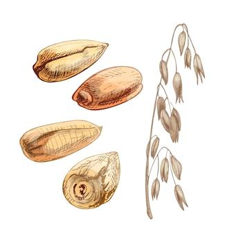 Ohren mit haferkorn. gezeichnete schraffurillustration der vektorfarbeweinlese hand lokalisiert auf einem weißen hintergrund.